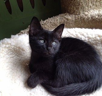 Domestic Mediumhair Cat for adoption in Kennedale, Texas - Ranger