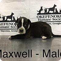 Boxer/Cattle Dog Mix Puppy for adoption in Waycross, Georgia - Maxwell