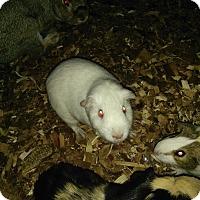 Adopt A Pet :: Guinea Pig 2 - Miami Shores, FL