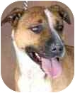 Cattle Dog/American Pit Bull Terrier Mix Dog for adoption in Rio Rancho, New Mexico - Tess