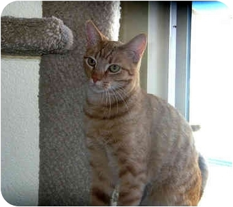 Domestic Shorthair Cat for adoption in Palmdale, California - Jaxx