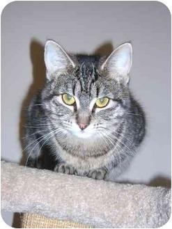 Domestic Shorthair Cat for adoption in Okotoks, Alberta - Anni-Frid