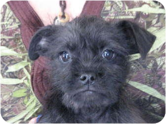 Terrier (Unknown Type, Small) Mix Puppy for adoption in East Hartland, Connecticut - Bam Bam