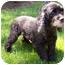 Photo 2 - Cocker Spaniel Dog for adoption in Oak Ridge, New Jersey - Niagara