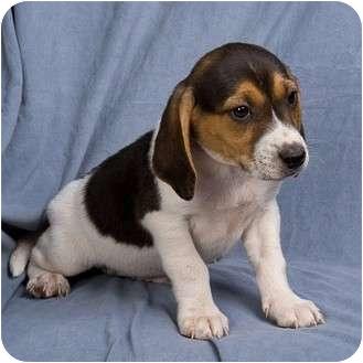 Basset Hound/Beagle Mix Puppy for adoption in Anna, Illinois - POKEY