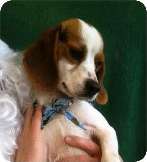 Beagle Dog for adoption in Lancaster, Kentucky - JD