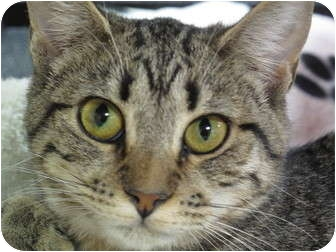 Domestic Shorthair Cat for adoption in Port Republic, Maryland - Tink