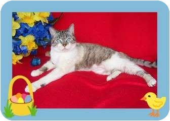 Siamese Cat for adoption in Taylor Mill, Kentucky - Reagan-DECLAWED-BLUE EYES