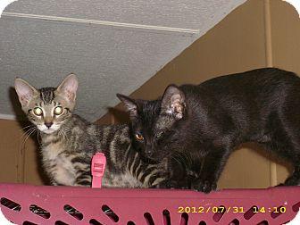 Domestic Shorthair Kitten for adoption in Brea, California - ROCKY