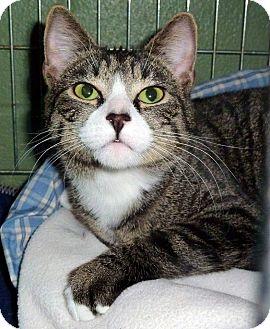 Domestic Shorthair Cat for adoption in Carmel, New York - Vennice