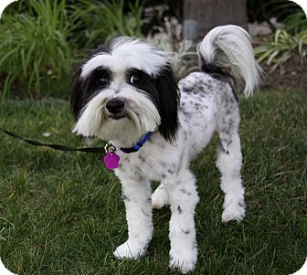 Havanese/Poodle (Miniature) Mix Dog for adoption in Newport Beach, California - TIMOTHY