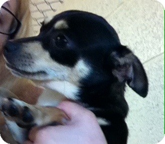 Chihuahua Mix Dog for adoption in Greensburg, Pennsylvania - Izzy