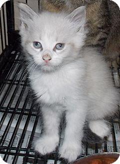 Domestic Shorthair Kitten for adoption in St. Pauls, North Carolina - Nirvana