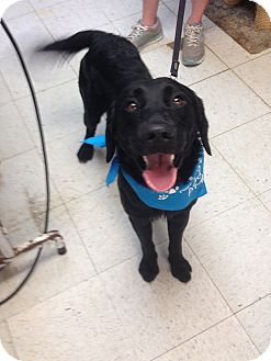 Labrador Retriever Mix Dog for adoption in Maryville, Illinois - Jared