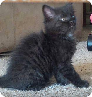 Domestic Mediumhair Kitten for adoption in Tillamook, Oregon - Cry Baby