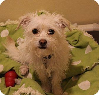 Schnauzer (Miniature) Mix Dog for adoption in Chicago, Illinois - Emmie