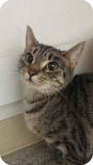Domestic Shorthair Cat for adoption in Reisterstown, Maryland - Abby