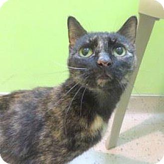 Domestic Shorthair Cat for adoption in Janesville, Wisconsin - Vahnna