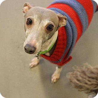 Italian Greyhound Dog for adoption in Atlanta, Georgia - Sir Maximus Legs-A-Lot