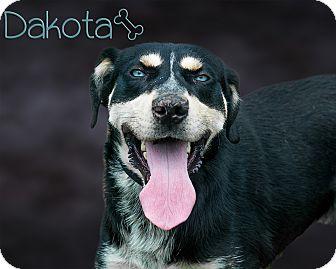 Husky/Shepherd (Unknown Type) Mix Dog for adoption in Somerset, Pennsylvania - Dakota