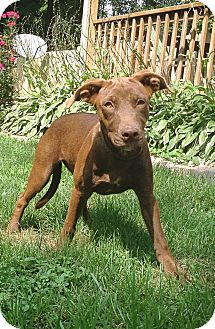 Labrador Retriever Mix Puppy for adoption in Lewisville, Indiana - Jenna