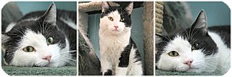 Domestic Shorthair Cat for adoption in Forked River, New Jersey - Panda