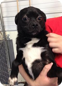 Pug/Beagle Mix Dog for adoption in Newburgh, Indiana - Paco