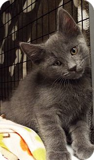 Domestic Longhair Kitten for adoption in Grants Pass, Oregon - Mickey Mouse