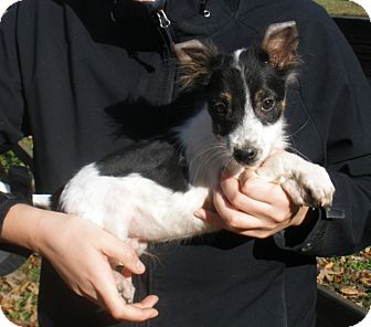 Border Collie Mix Puppy for adoption in Pewaukee, Wisconsin - SCOOTER - adorable