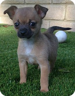 Chihuahua/Jack Russell Terrier Mix Puppy for adoption in Los Angeles, California - Squirrel