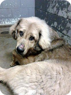 Tibetan Mastiff Dog for adoption in Bloomington, Illinois - Norbu