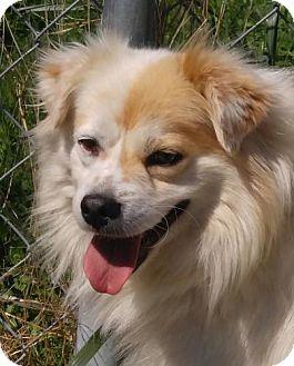 Pomeranian/Spitz (Unknown Type, Small) Mix Dog for adoption in Allentown, Pennsylvania - Snowball