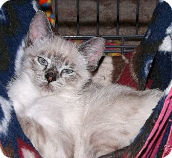 Siamese Kitten for adoption in Salem, Oregon - Barney