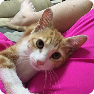 Domestic Shorthair Kitten for adoption in Nashville, Tennessee - Moriarty