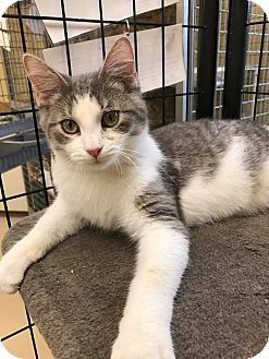 Domestic Shorthair Kitten for adoption in Maryville, Missouri - Chino