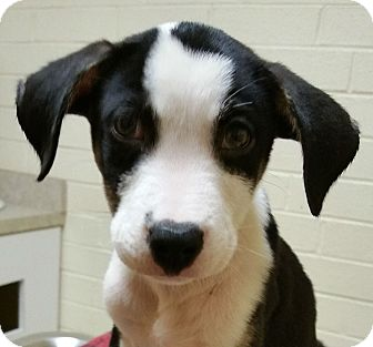 Boxer/Terrier (Unknown Type, Medium) Mix Puppy for adoption in Charlotte, North Carolina - Bruno