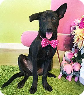Labrador Retriever Mix Puppy for adoption in Castro Valley, California - Italia