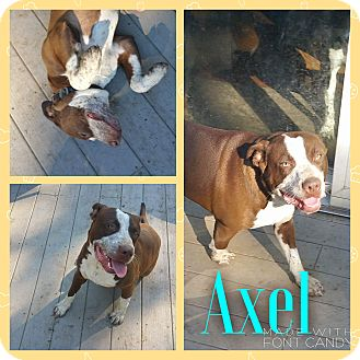 Pit Bull Terrier Mix Dog for adoption in Garden City, Michigan - Axel