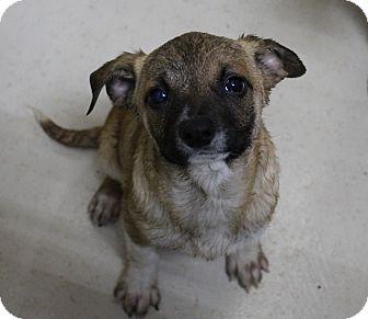 Shepherd (Unknown Type) Mix Puppy for adoption in Odessa, Texas - A31 Barkley