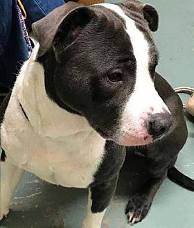 Pit Bull Terrier Mix Dog for adoption in Centerburg, Ohio - Tank