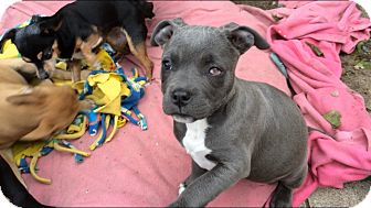 Pit Bull Terrier Mix Puppy for adoption in Pasadena, California - Lily**Video**