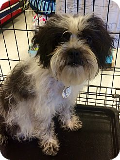 Shih Tzu Mix Puppy for adoption in East Hartford, Connecticut - Pepper in CT