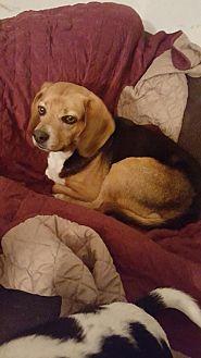 Beagle Dog for adoption in New Castle, Delaware - Artie
