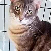 Adopt A Pet :: Lacey - Morgan Hill, CA