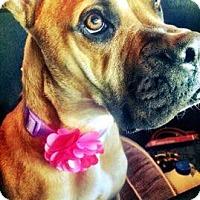 Adopt A Pet :: Roxie - Foster, RI