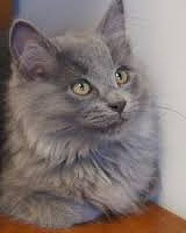 Domestic Longhair Cat for adoption in Knoxville, Tennessee - Shadow