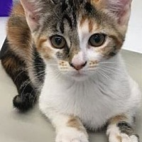 Adopt A Pet :: Stella (kitten) - West Palm Beach, FL
