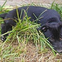 Adopt A Pet :: Rollins - Allen, TX