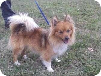 Pomeranian/Sheltie, Shetland Sheepdog Mix Puppy for adoption in Staunton, Virginia - Simba