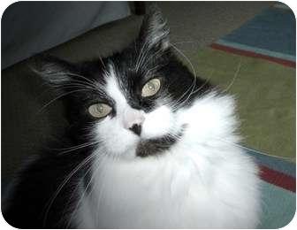Domestic Mediumhair Cat for adoption in Snohomish, Washington - Boomer